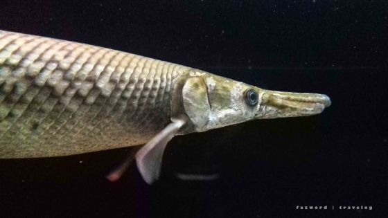 Alligator Gar Fish | photo: fazword
