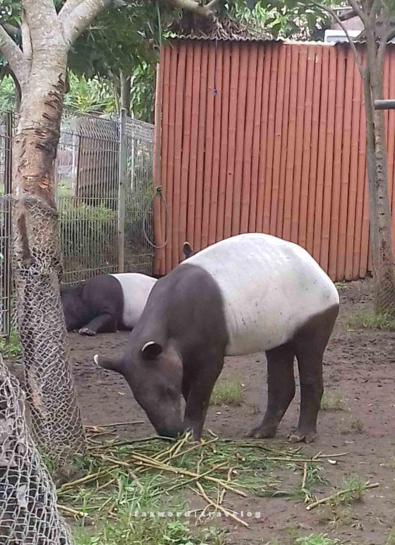 Tapir Malaysia Jatim Park 2| photo: fazword
