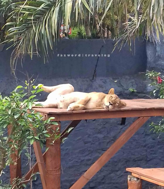 Lion at Jatim Park 2 | photo: fazword
