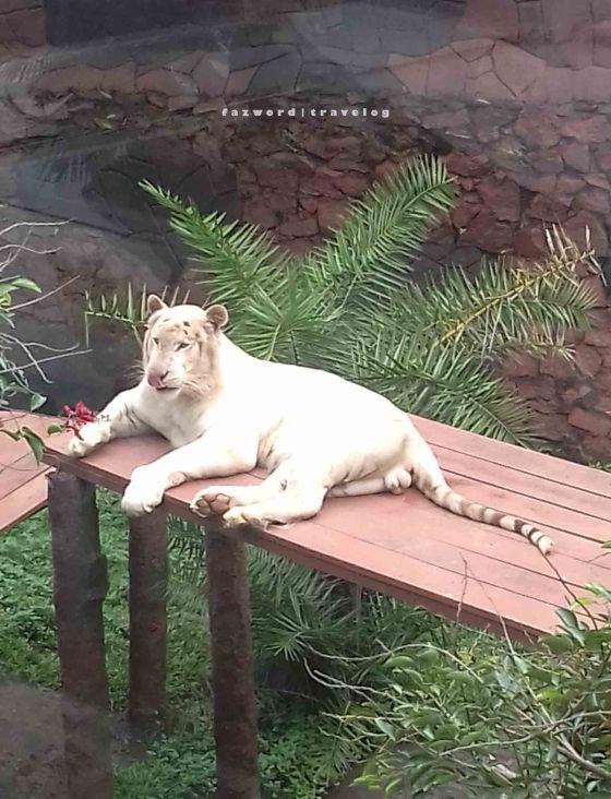 Macan Putih Jatim Park 2 | photo: fazword