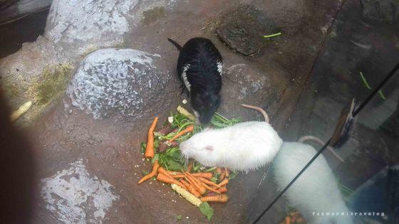 Tikus Raksasa Jatim Park 2| photo: fazword
